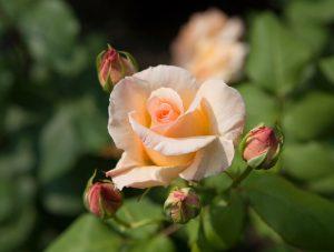 アプリコット・ネクター:Apricot Nectar 06