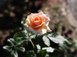 フレグラント・アプリコット:Fragrant Apricot 02
