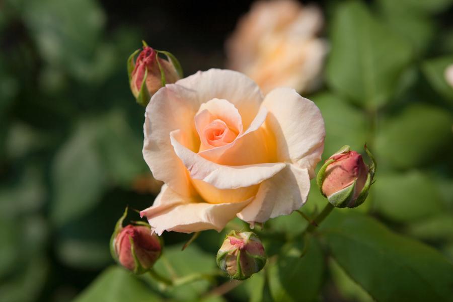 Apricot Nectar:アプリコット・ネクター