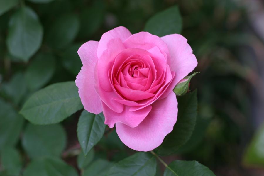 Other Rose Flowers 1:他のバラの花1(ガートルード・ジェキル)