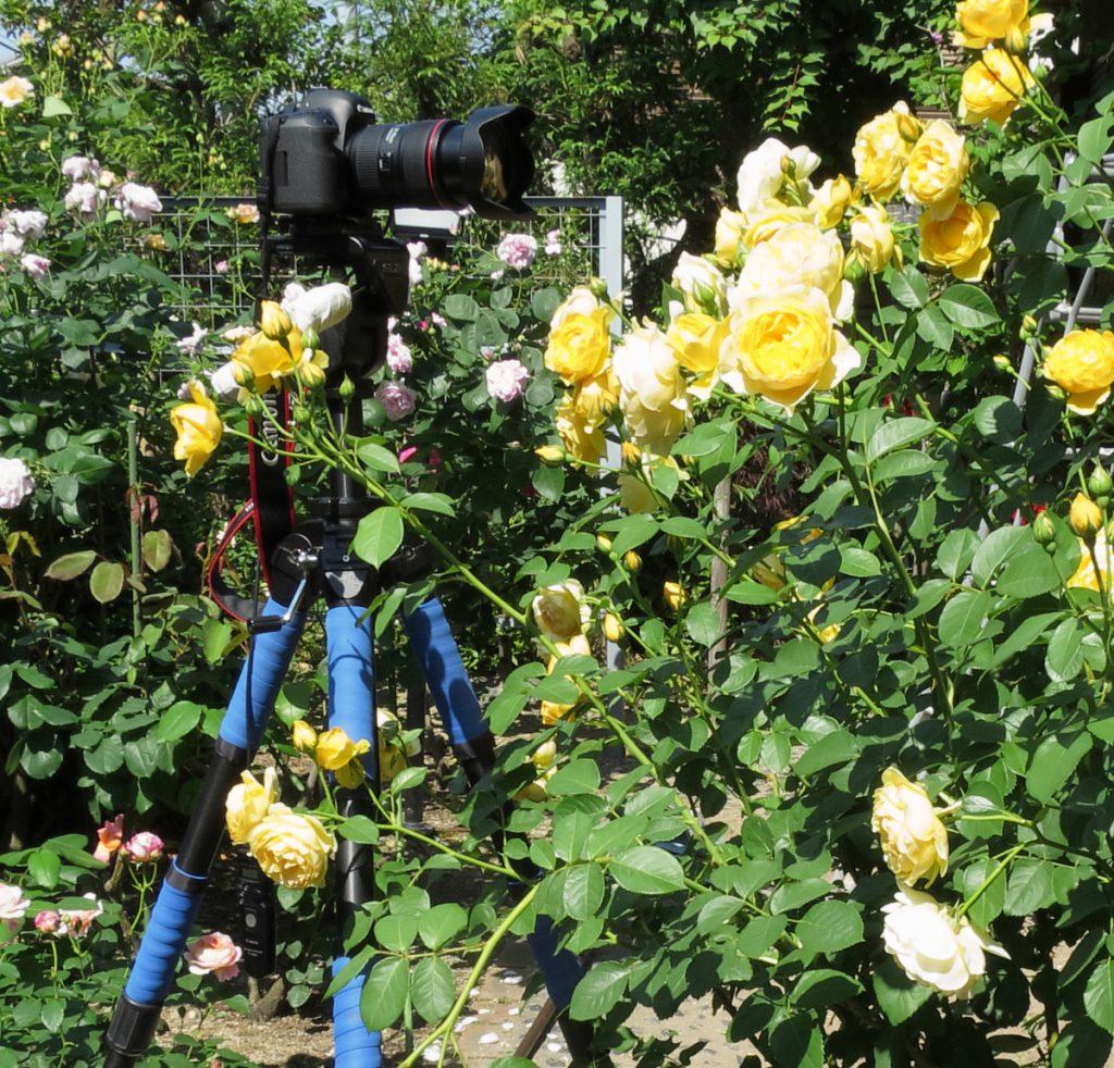 バラの撮影機材:4段大型三脚 花はグラハム・トーマス