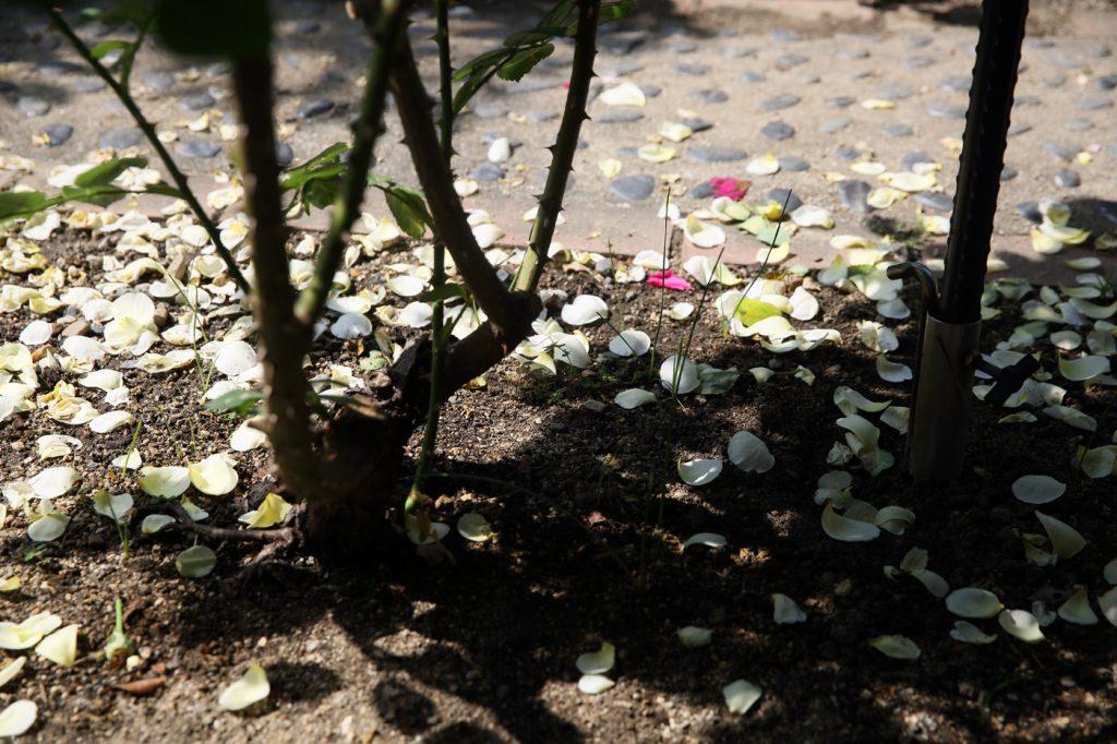 散り落ちたバラの花びら:グラハム・トーマス
