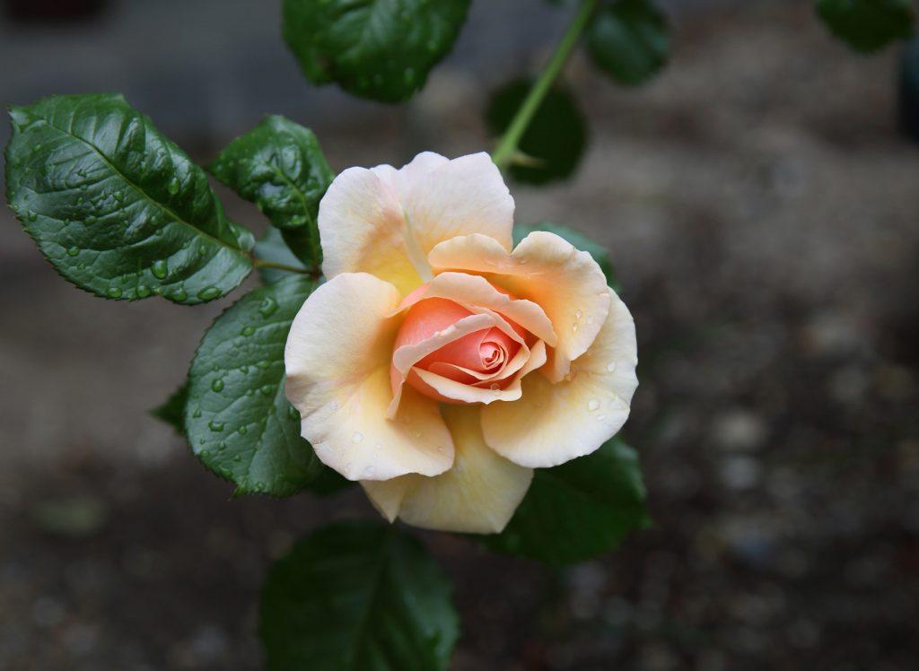 フレグラント・アプリコット:Fragrant Apricot 03 L