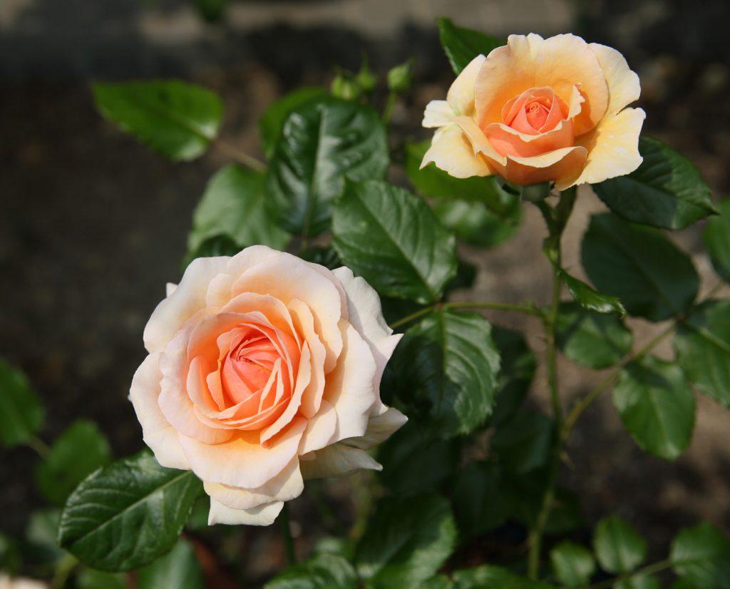 フレグラント・アプリコット:Fragrant Apricot 04 L