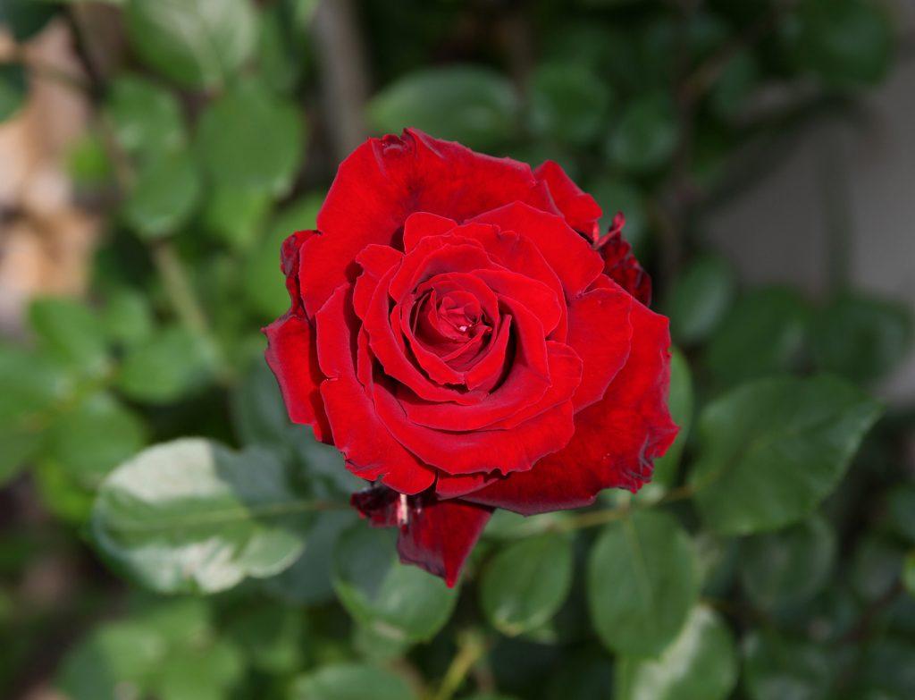 ベルサイユのばら:La Rose de Versailles 01 L