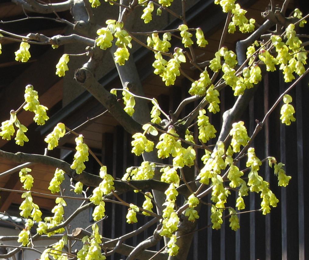 トサミズキの花
