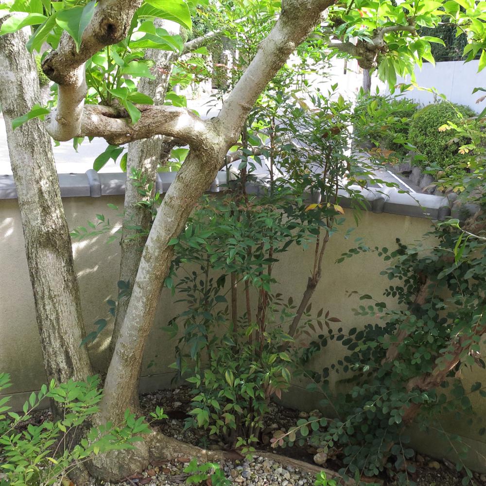 ナンテン(南天)の木